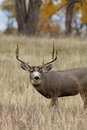 Mule deer buck portrait a close up of a big in a grass meadow Royalty Free Stock Photos