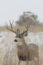 Mule deer buck portrait in snow a close up of a large Stock Photo