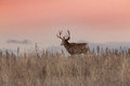 Mule Deer Buck on Ridge Royalty Free Stock Photo