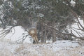 Mule deer buck running in snowstorm a large for cover a Stock Photos