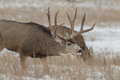 Mule Deer Buck in Rut Royalty Free Stock Photo