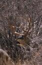 Mule Deer Buck in Snow Royalty Free Stock Photo