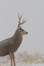 Mule deer buck in snow a large standing a covered field Royalty Free Stock Photo