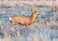 Mule Deer Royalty Free Stock Photo