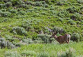 Mule deer buck in velvet Royalty Free Stock Photo