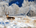 Mule Deer buck in the Winter Stock Photos