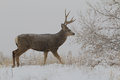 Mule deer buck in winter a large walking across a snow covered field Stock Image