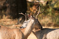 Mule deer bucks Royalty Free Stock Photo