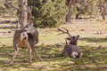 Mule Deer Bucks Royalty Free Stock Photo