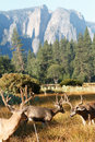Mule deer bucks in Yosemite Valley Royalty Free Stock Photo