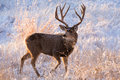 Mule Deer in Colorado Royalty Free Stock Photo