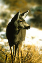 Mule Deer Doe Stock Photos