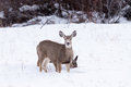 Mule Deer Doe and Her Fawn Feeding in Wintertime Royalty Free Stock Photo