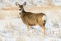 Mule Deer Doe in the Snow in Badlands National Park