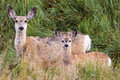 Mule Deer Doe Royalty Free Stock Photo
