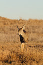 Mule deer doe a standing head on Stock Photography