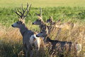 Mule deer family this is a group of posing for my picture Royalty Free Stock Photography