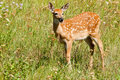 Mule Deer Fawn Stock Photography