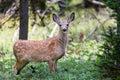 Mule Deer Fawn Royalty Free Stock Photo