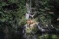 Mule Deer in Forest