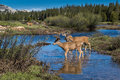 Mule deer herd at Tuolumne Meadows, Yosemite Royalty Free Stock Photo