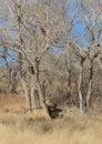 Mule deer in meadow Royalty Free Stock Photo