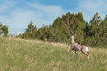 Mule Deer (Odocoileus hemionus) Moves Up Hill Royalty Free Stock Image
