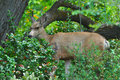 Mule deer in park setting Royalty Free Stock Image