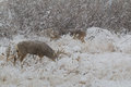 Mule deer and whitetail bucks in snow a nice buck feeds next to a whitetial a covered scene Royalty Free Stock Photo
