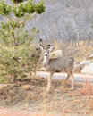 Mule Deer Yearling Royalty Free Stock Photography