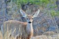 Mule deer yearling a standing at the woods edge Royalty Free Stock Photos