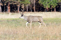 Mule deer in Yosemite Royalty Free Stock Photo