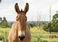 Mule front of a on a ranch Stock Photos