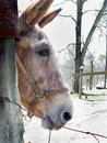 Mule Profile Royalty Free Stock Photo