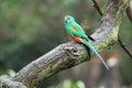 Mulga parrot Royalty Free Stock Photo