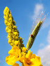 Mullein with ladybug and barley against a blue sky Stock Image