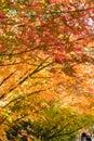 Multi color beautiful Maple leaves corridor Royalty Free Stock Photo
