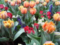 Multi Color Of Blooming Tulips And Grape Hyacinths
