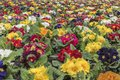 Multi-color field of endless spring pansies Royalty Free Stock Photo