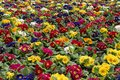 Multi-color field of endless spring primula polyanthus Royalty Free Stock Photo