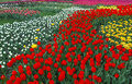 Multi color tulips field of Stock Images