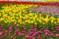 Multi color tulips field of Royalty Free Stock Photo