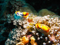 Multi colored ascidians thrive coral garden bunaken marine park sulawesi island indonesia Stock Photos