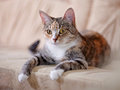 The multi colored cat with yellow eyes lies on a sofa eyed striped not purebred kitten small predator small Stock Images