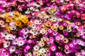 Multi colored daisies on a sunny day Royalty Free Stock Images
