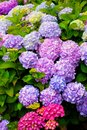 Multi Colored Hydrangea Bush With Blooms Royalty Free Stock Photo