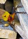 Multi-colored lizard in Sri Lanka