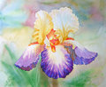 Multi coloured iris in a garden watercolor illustration Stock Images