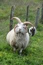 Multi horned jacob sheep