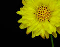 Multicaulis di texas false dandelion pyrrhopappus isolati su fondo nero Fotografia Stock